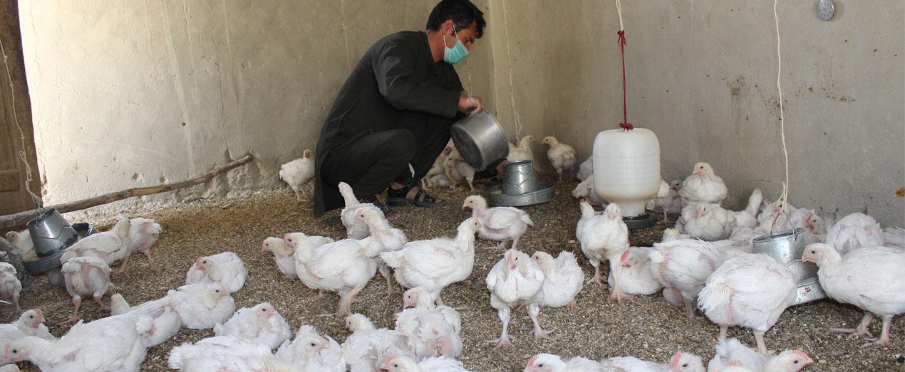 QorbanAli-member-of-PayeZiyarat-SHG-from-CharkhabJawzari-village-Balkhab-Poultry-yes